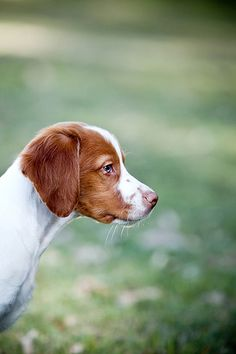 Flash the Brittany puppy