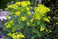 Plants for dry shade: Euphorbia amygdaloides var. robbiae. Can cope with heavy shade.