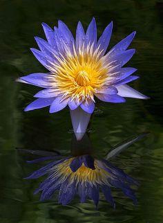 Water Lily in the Garden, Fairchild Tropical Botanic Garden.