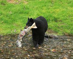 American Black Bear | American-Black-Bear-C.jpg