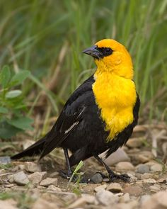 Yellow-headed Blackbird (Xanthocephalus xanthocephalus) found in cattail marshes of North America mainly west of the Great Lakes, winters in Southwestern United States  and Mexico
