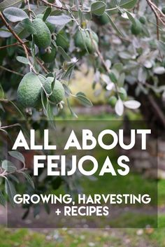 All About Feijoas - growing, harvesting + recipes - Milkwood Pineapple Guava Tree, Guava Fruit, Pineapple Planting, Fejoa Recipes, Guava Recipes, Recipies, Fruit Recipes, Fruit Trees, Trees To Plant