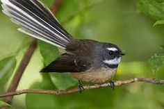 fantail, also called fan-tailed flycatcher-- any of numerous birds of the family Rhipiduridae. Bird Pencil Drawing, Bird Drawings, Beautiful Songs, Beautiful Birds, Tui Bird, Tropic Of Capricorn, Flower Tattoo Foot, Flower Tattoos, Zealand Tattoo