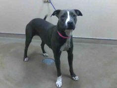 *LORI-ID#A669942    Shelter staff named me LORI.    I am a female, gray and white Pit Bull Terrier.    The shelter staff think I am about 2 years old.    I have been at the shelter since Sep 02, 2012.
