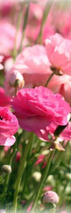 Pink Ranunculus Fleurs roses Pink Flowers- TubaTANIK