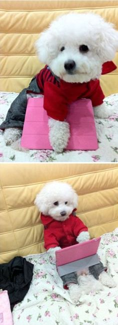 Bichon with their own i-pad and dressed up so cute! If mom is going to school, perhaps Bizou can be a study partner
