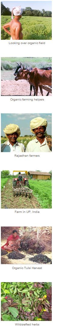 Organic Farmers in India Organic India manufactures nourishing Tulsi (holy basil) based teas and other herbal supplements of the highest quality an potency.