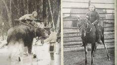Alces alces. The soviet army's program for training elk for use in war in the 1930's. Venäläiset sotilaat asentavat pikakivääriä hirven sarviin ja naissotilas ratsastaa hirvellä