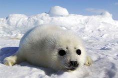 tuleň grónský 04