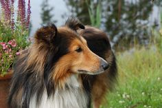 Sheltie Camp 380 x