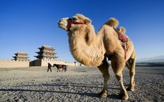Discover the must see sights in China. Read the Rough Guide list of things not to miss in China and get inspiration for planning your trip. Silk Road China, Asian Continent, China Travel, Camels, Central Asia, Plan Your Trip, Pilgrim, Continents, North West