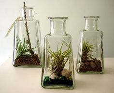 Terrariums are easy to make and very inexpensive, be it you know how to collect its components. Find glass encasements at the Goodwill and airplants grow abundantly in trees in tropical climates, such as FL. Pebbles from DollarTree and $4 craft sand from Michaels.