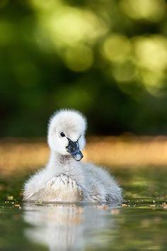 Black swan by Robert Adamec on 500px
