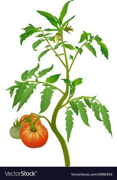 Tomato plant with flowers and fruits vector image on VectorStock Chicken Ham, Garden Works, Fruit Vector, Study Help, Tomato Plants, Fruit Art, Aesthetic Videos, Pixel Art, Clip Art