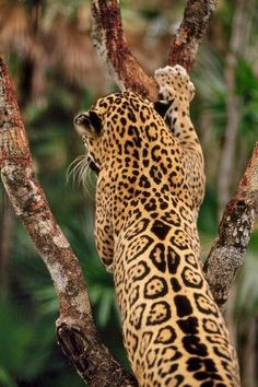 Jaguars have spots inside their rosettes on it's back. The Leopard has not middle spots