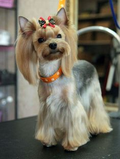 Choosing a haircut for your Yorkshire Terrier? Discover these pictures of Yorkies haircuts for your inspiration. Yorkshire Terrier Haircut, Yorkshire Terrier Puppies, Yorkies, Yorkie Cuts, Yorkie Hairstyles, Yorshire Terrier, Silky Terrier, Dog Grooming Styles, Puppy Cut