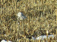 Bird Photos, Birding Sites, Bird Information: FEMALE SNOWY OWL, FIFTH AVE LOUTH FIELD, ST. CATH...