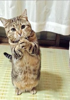 it) submitted by Nimted to /r/CatsStandingUp 5 comments original - - Cute Kittens - LOL Memes - in Clothes - Kitty Breeds - Sweet Animal Pictures by Visualinspo I Love Cats, Crazy Cats, Cute Cats, Funny Cats, Funny Animals, Cute Animals, Baby Animals, Pretty Cats, Beautiful Cats