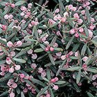 Find Blue Ice Andromeda (Andromeda polifolia 'Blue Ice') in Minneapolis St Paul Twin Cities Metro Eden Prairie Minnesota MN at Bachman's Landscaping (Blue Ice Bog Rosemary) Ice Plant, Fern Plant, Eden Prairie Minnesota, Cedrus Deodara, Small Shrubs, Evergreen Shrubs, Types Of Plants, Hedges, Landscape