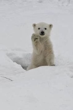 Wow beautiful Polar Bear cub saying hello. Mama must be close by I hope.