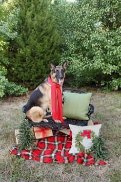 Christmas German shepherd - Absolutely Bositively