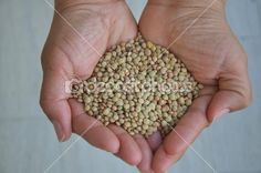 Lentils in the palm hands