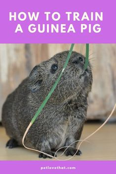 To train guinea pig is comparatively more straightforward than other small pets. So, here are some things that you should teach your guinea pig. Diy Guinea Pig Cage, Pet Guinea Pigs, Guinea Pig Care, Pet Pigs, Pig Facts, Classroom Pets, Cheap Pets, All About Animals, Horse Care