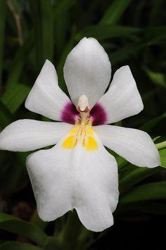 Miltoniopsis roezlii - Flickr - Photo Sharing!