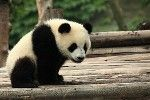 #Panda Update Rolling and Will Continue to Roll Many webmasters have witnessed a slight change in their rankings and its believed that a Panda update is rolling, but this time, Google has made it clear that Panda update like this will continue to roll on a constant basis making it less visible in the search results.