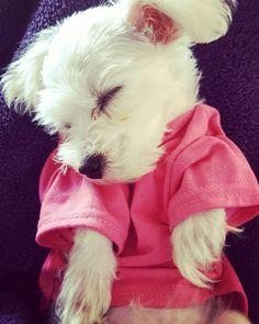 Good night  #malteselovers #maltesers #malteseofinstagram #malthezer #maltezer #puppylove #puppy #pup #dog #dogs #dogofinstagram #instadog #puppies #puppygram #sleepingdog #sleepy #sleeping #dogdress #dogdreams #dogshirt #dog by dolly_felline #lacyandpaws