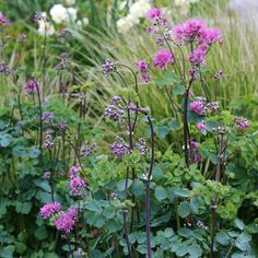 Aklejruta (Thalictrum aquilegifolium) Puderrosa blommor i fluffiga vippor på höga stjälkar från rosett med aklejliknande blad. Odlas gärna i soliga eller halvskuggiga rabatter. Förodla feb-mar eller så direkt på växtplatsen. Blommar jun-jul. Flerårig. Höjd ca 120 cm. Mycket vacker!