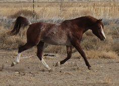 Shakespeare ~ Bucks Acres Arabians