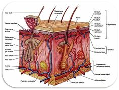 14 Best Integumentary images in 2011      Skin    anatomy  Human