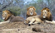 Fifteen years ago lions became extinct in Rwanda when the last big cats in the country were poisoned by locals fleeing the genocide who began living in wildlife parks (file image) South African Lions, Lions South Africa, Lion Africa, Lion And Lioness, Lion Of Judah, Lion Hunting, Big Cat Family, Beautiful Lion, Black Lion