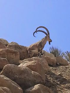 Nubian Ibex roaming the Botanical Gardens in Ein Gedi