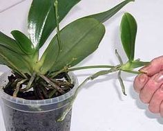 Orchid Care and Maintenance, Orchid Care, Phalaenopsis Orchid, Orchid Propogation