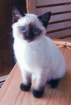 Balinese cat - reminds me of Daphne when she was a kitten