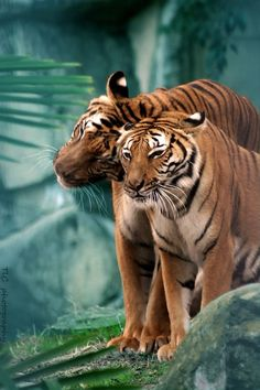 This scene is magical, the beautiful colours of the tigers and the mysterious green of the jungle.