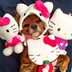 As much Hello Kitty as your dog can handle! Find the collection at PetSmar! (IG photo @toastmeetsworld)