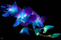 Blue Singapore Orchid - the last flowers I bought my Nanny. They always remind me of her Blue Orchid Flower, Wild Orchid, Exotic Flowers, Pretty Flowers, Colorful Flowers, Blue Flowers, Hawaii Flower Tattoos, Blue Dendrobium Orchids, Glowing Flowers