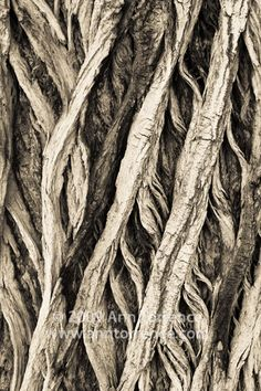 Cottonwood tree bark