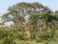 #Safari in #Südafrika, #malariafrei und atemberaubend: #Rhulani Safari Lodge   aus der #Giraffe wächst ein Baum ReiseFreaks ReiseBlog