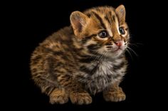 A four-week old male leopard cat. Unlike the Amur leopard, which is considered critically endangered, the leopard cat is not a threatened species. Photo by Joel Sartore. When We See Something Cute, Why Do We Want to Squeeze It? Small Wild Cats, Small Cat, Big Cats, Cats And Kittens, Cute Cats, Kittens Cutest, Asian Leopard Cat, Baby Leopard, Amur Leopard