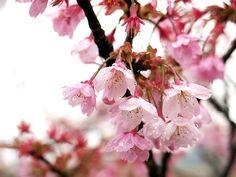 2013年3月21日(木) こんにちは!「山陰沖のマツバガニ、今期最後の競り 但馬」。但馬の各漁港で、マツバガニ(ズワイガニ雄)の最後の競りが今朝行われたというニュース。今期の水揚げ量は、昨年同期と比べて9.9%減と少なかった分、単価は高めで推移したそうです。    蟹のシーズンが終わると同時に、桜のシーズン到来。桜前線が物凄い勢いで北上しているそうです。昨日の定休日、徳島県「あすたむらんど徳島」さんの駐車場で撮影した桜。まだ咲いていない木が圧倒的に多い中、この木だけは満開。強い雨風で花びらが舞っていました。雨に降られる桜も、なかなか良いものですね~(^^    それでは、今日も皆様にとって良い1日になりますように☆  http://www.pawn-fujii.jp/