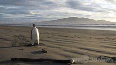 ニュージーランド北島にある首都ウェリントン(Wellington)の北わずか40キロの海岸、カピティ・コースト(Kapiti Coast)に現れた、南極からたどり着いたと思われるコウテイペンギン(2011年6月20日撮影)。(c)AFP/DEPARTMENT OF CONSERVATION/Richard GILL/HO ▼30Jun2014AFP|コウテイペンギン、温暖化で個体数減少の推計 http://www.afpbb.com/articles/-/3019244 #Kapiti_Coast #Emperor_penguin #Aptenodytes_forsteri #Manchot_empereur #Kaiserpinguin #Pinguim_imperador #Imparator_penguen #Pingwin_cesarski #Penguin_kaisar