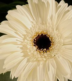 I like Gerbera daisies best because they are bold, yet simple. They are also easy to grow.