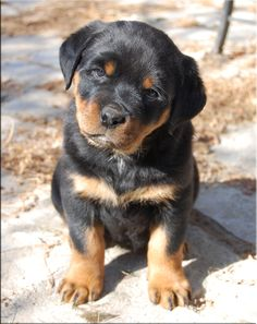 Rotties make GREAT family dogs! RIP Jake.