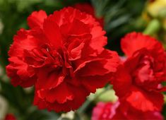 carnations flowers - Google Search