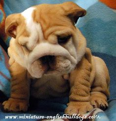 English bulldog puppy!! so CUTE and WRINKLY :)