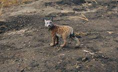 #collecta #bigcat #cat #lynx #Canadianlynx #animalfigure #toystagram #animaltoy #animalcollection #animalreplica #animalfigurine #schleich #papo #mojofun #safariltd #diorama #wildanimals #wild #animal